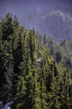 Alpine spruce forest covered with morning rays of the sun Royalty Free Stock Images