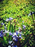 Alpine Squill And Bee Royalty Free Stock Photos