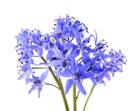 Alpine squill Royalty Free Stock Photos