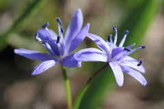 Alpine squill or two-leaf squill blue flower Royalty Free Stock Photos
