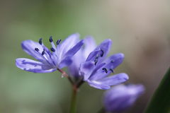 Alpine squill or two-leaf squill blue flower Stock Photo