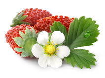 Alpine strawberry (Fragaria vesca) Stock Photography