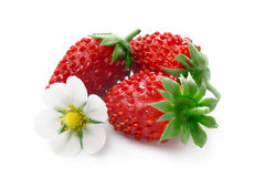 Alpine strawberry (Fragaria vesca) Royalty Free Stock Photo