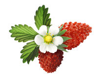 Alpine strawberry (Fragaria vesca) Royalty Free Stock Photography