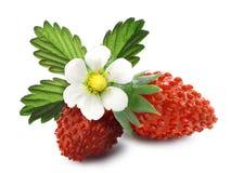 Alpine strawberry (Fragaria vesca) Royalty Free Stock Photo