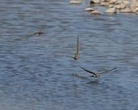 Alpine Swift. S at Makara,Lesvos stock photo