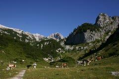 Alpine Szene mit Kühen Stockfotos