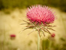 Alpine thistle Royalty Free Stock Photo
