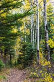 Alpine trailhead in the fall, white aspens, evergreens. Trail runs through forest of aspens and evergreens in Alpine Loop, Utah, USA stock images