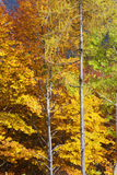 Alpine trees in fall, vertical Royalty Free Stock Photography