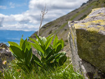 Alpine vegetation Royalty Free Stock Image
