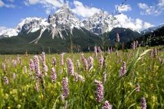 Alpine Wiesenblumen Stockbild