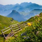 Alpine Wild Flowers. At Rocher de Naye, Switzerland Stock Photos
