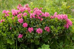 Alpine wild flowers Rhododendron Hirsutum Stock Images