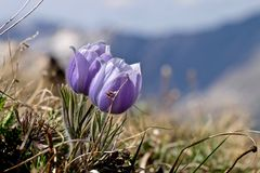 Alpine wild flowers in Rocky Mountains. Stock Images