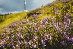 Alpine wild flowers Royalty Free Stock Photo
