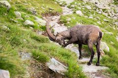 Alpine Wild Ibex Scratching itself in Rocky Mountains royalty free stock images