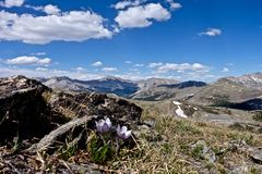 Alpine wilde Blumen in Rocky Mountains Stockbild