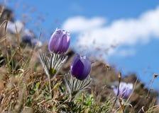 Alpine wilde Blumen in Rocky Mountains Lizenzfreie Stockbilder