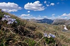 Alpine wilde Blumen in Rocky Mountains Lizenzfreie Stockfotos