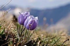 Alpine wilde Blumen in Rocky Mountains Stockbilder