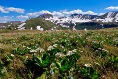Alpine wilde Blumen und Schnee mit einer Kappe bedeckte Berge Stockbild