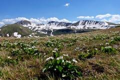Alpine wilde Blumen und Schnee mit einer Kappe bedeckte Berge Lizenzfreie Stockbilder