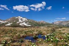 Alpine wilde Blumen und Schnee mit einer Kappe bedeckte Berge Lizenzfreie Stockfotografie