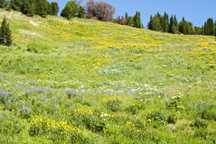 Alpine wildflower landscape. View of alpine wildflowers along the Beartooth Highway in Wyoming Stock Images