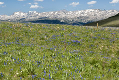 Alpine wildflower landscape. View of alpine wildflowers along the Beartooth Highway in Wyoming Stock Image