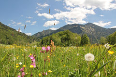 Alpine wildflower meadow, bavaria Royalty Free Stock Image