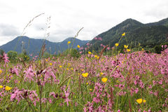 Alpine wildflower meadow with lychnis and buttercups, germany Royalty Free Stock Image