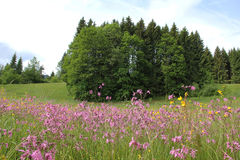 Alpine wildflower meadow with lychnis and grove, germany Royalty Free Stock Images