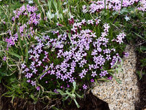 Alpine wildflowers blooming Stock Photo