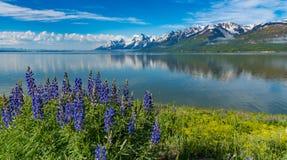 Alpine Wildflowers in großartigem Nationalpark Teton Lizenzfreies Stockbild