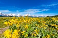 Alpine Wildflowers in großartigem Nationalpark Teton Stockfotografie