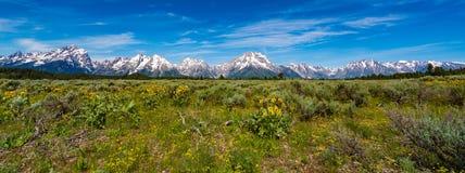 Alpine Wildflowers in großartigem Nationalpark Teton Stockbilder