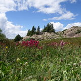 Alpine Wildflowers II Stockbilder