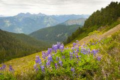 Alpine Wildflowers. The wildflowers during the month of August are spectacular on the edge of Mt. Baker, Washington, USA Royalty Free Stock Images