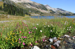 Alpine Wildflowers at Ring Lake. Ring Lake. Callaghan Valley. British Columbia. Canada Royalty Free Stock Photo