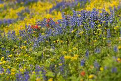 Alpine Wildflowers Royalty Free Stock Photos