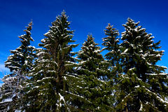 Alpine winter scenery - firs wood Royalty Free Stock Photos