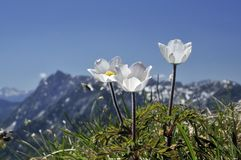 Alpine Wood Anemone Stock Photo