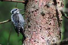 Alpine Woodpecker on a tree found in the forest (alto adige) Royalty Free Stock Photos