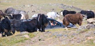 Alpine yak Stock Photography