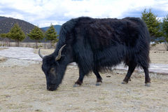 Alpine yak in Shangri-la coutry Stock Photography