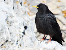 Alpine yellow billed chough on a rock Stock Photography