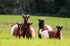 Alpine Ziegen Lizenzfreies Stockbild