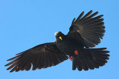 Alpiner Chough Stockbild