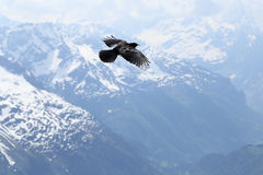Alpiner Chough Stockfoto